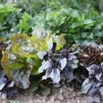 Rotes Basilikum und Salat