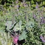 Kohlrabi zwischen Katzenminze und Lavendel