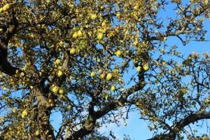 alter Birnenbaum hinterm Haus